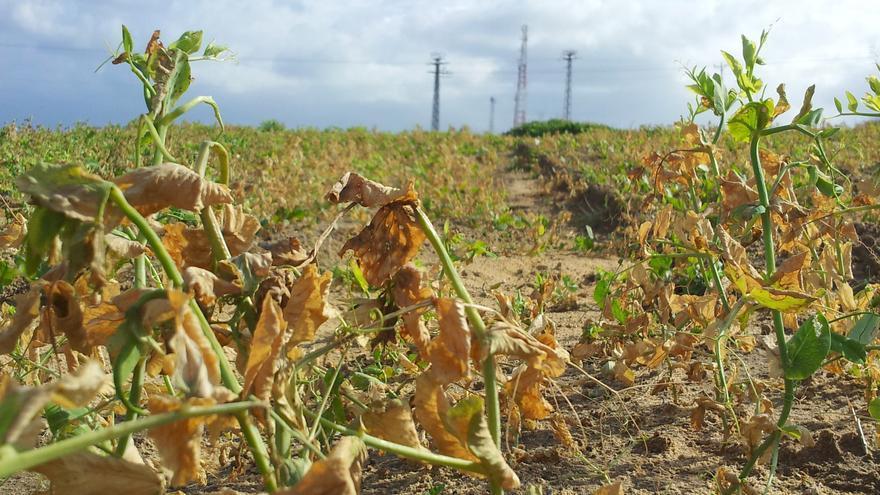 Cultivos destruidos por herbicida israelí. Al fondo, torretas militares / Foto: Isabel Pérez