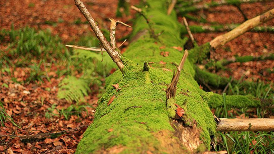 Hayedo de la Selva de Irati, en Navarra