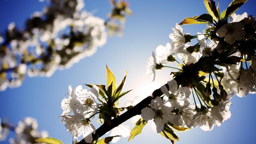 Cerezo en flor.
