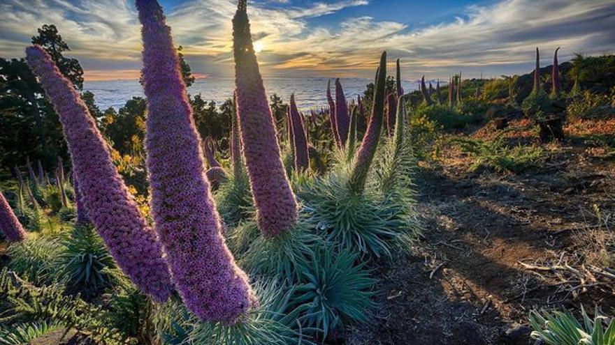 Tajinaste rosado en las cumbres de La Palma.