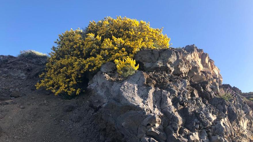 Un retamón de cumbre de La Palma (Genista benehoavensis), este sábado, en plena floración.