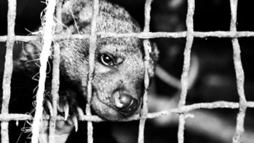 Tayra rescatada del tráfico ilegal de especies en Colombia