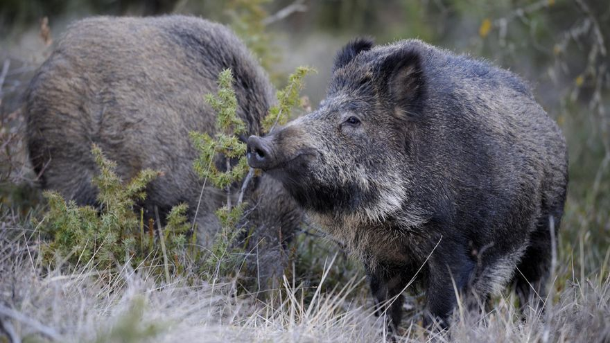 La caza sostenible mantiene el control sobre la población de jabalíes.