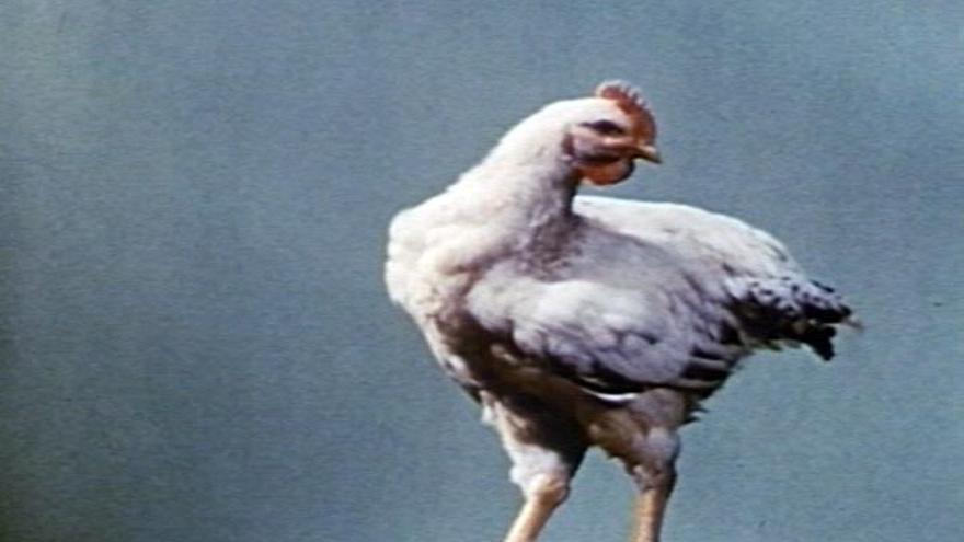 La invención del pollo