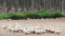 La gripe aviar alcanza a otras 2 granjas y obliga a sacrificar a 2.700 patos más