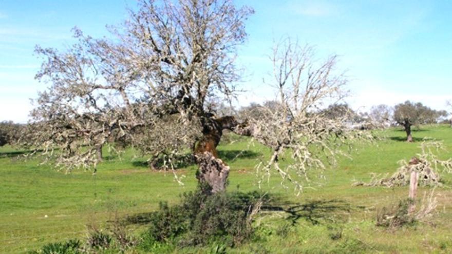 La seca es un problema que afecta a la dehesa desde hace décadas / http://iprocor.gobex.es/