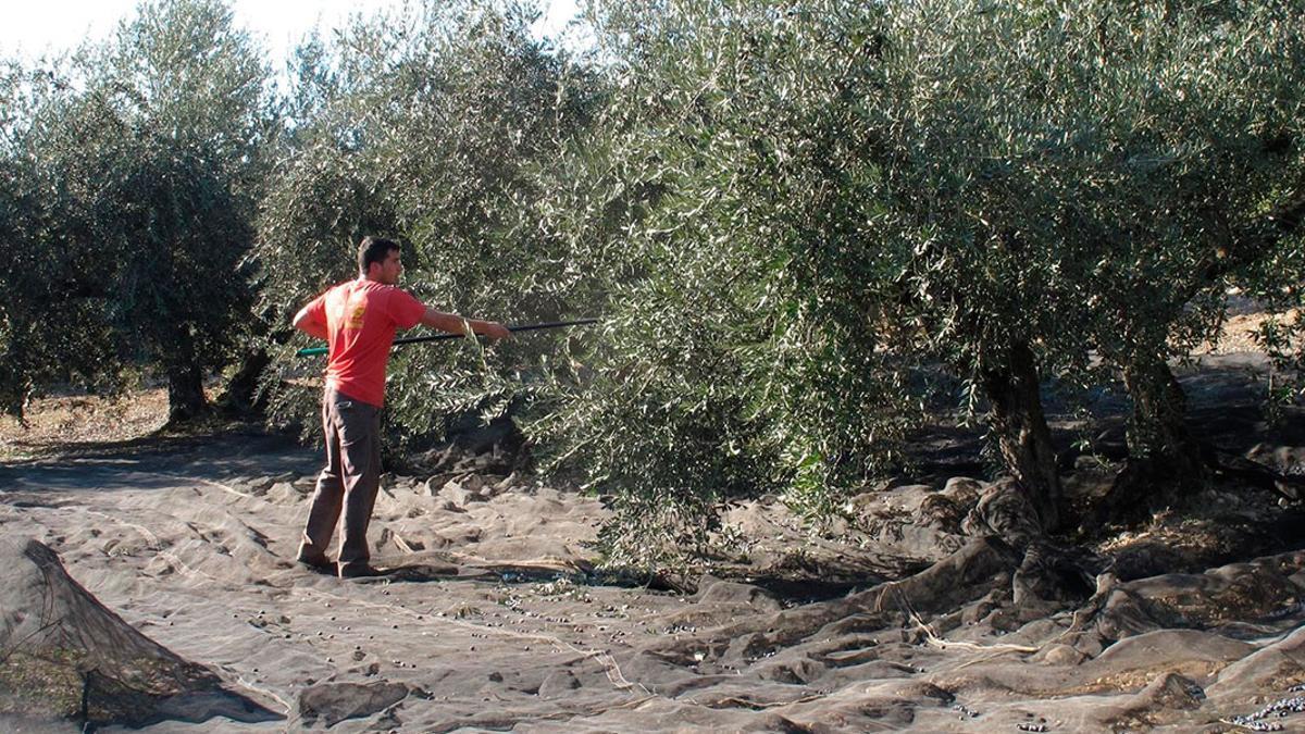 Un trabajador en un olivar.