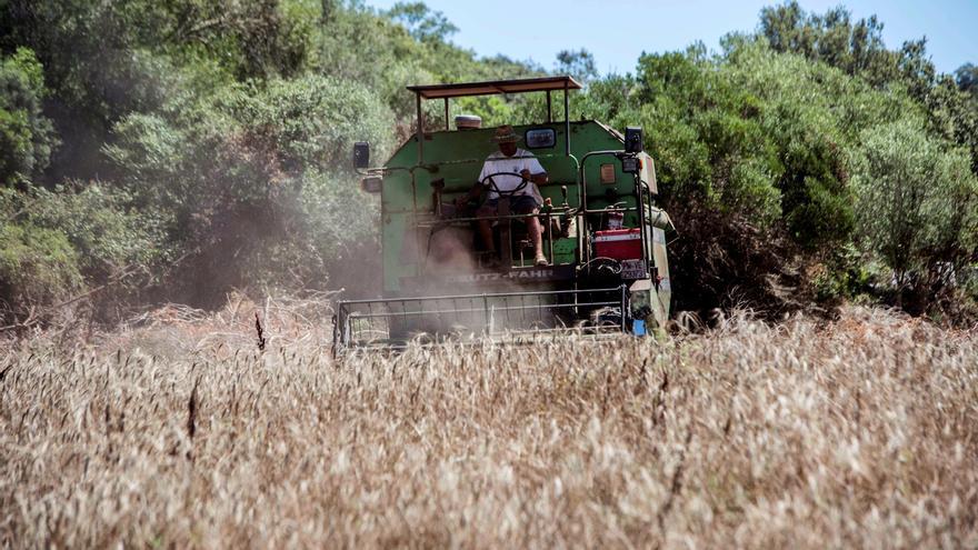 Un agricultor cosecha de trigo en su finca de Ferreries, Menorca. EFE/ David Arquimbau Sintes