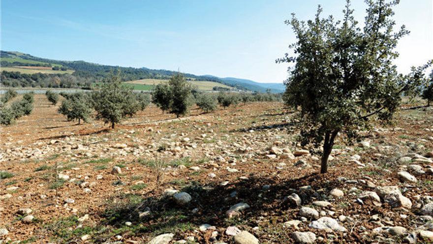 340.000 hectáreas de la provincia de Huesca son óptimas para la truficultura