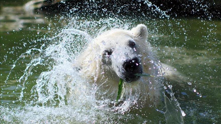 La supervivencia del oso polar en jaque por el cambio climático