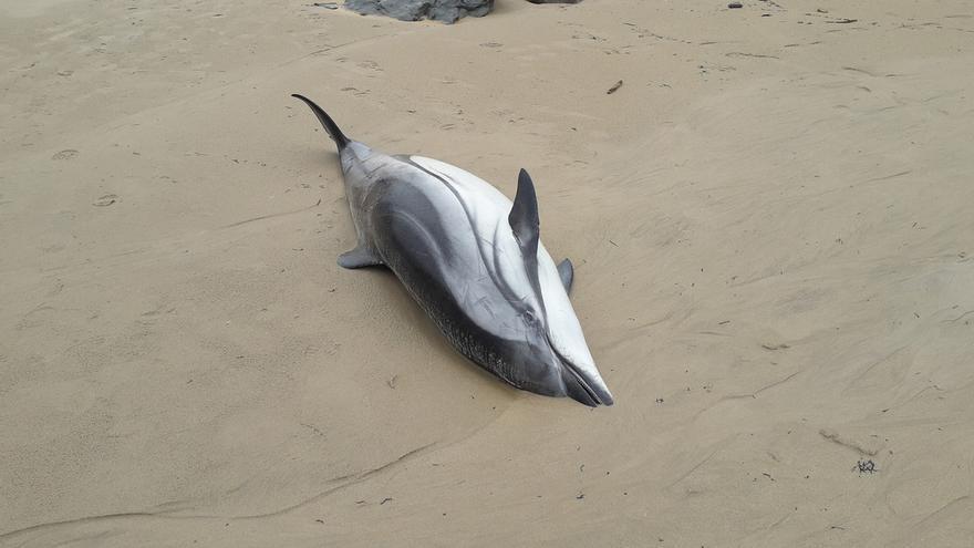Aparecen 14 delfines muertos en Oyambre y tres más son reconducidos al mar