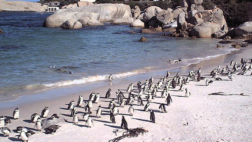 Pingüinos en Boulders Beach, camino del Cabo de Buena Esperanza. Mara 1