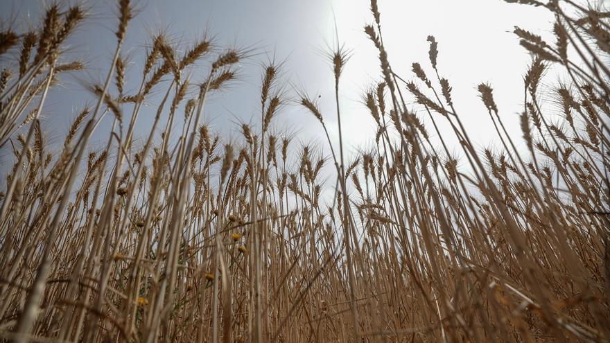 Es un hecho que la agricultura transgénica forma parte de un modelo agroalimentario concreto, y además injusto, porque mientras se sigue alimentando a los mercados y los beneficios mercantiles, más de 800 millones de personas pasan hambre