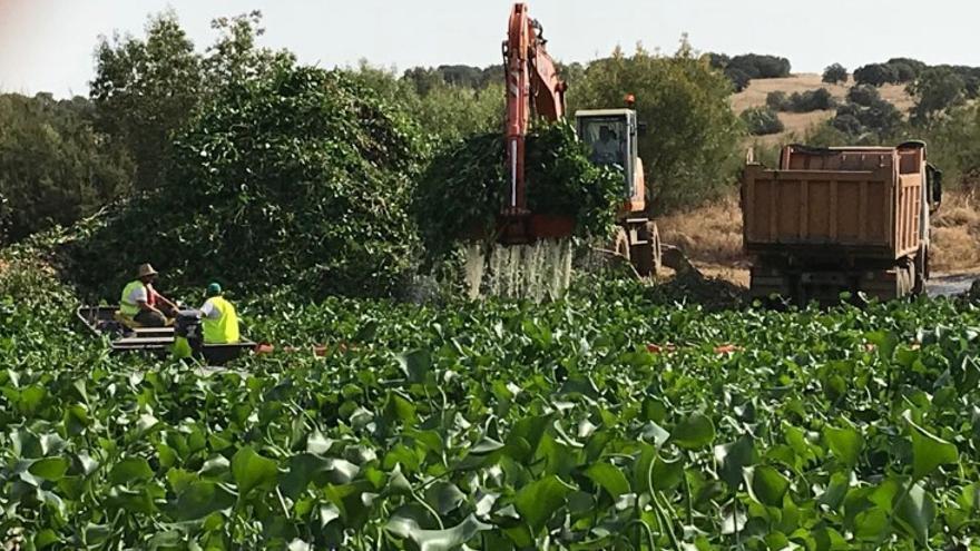 Trabajos de retirada del camalote en el Guadiana