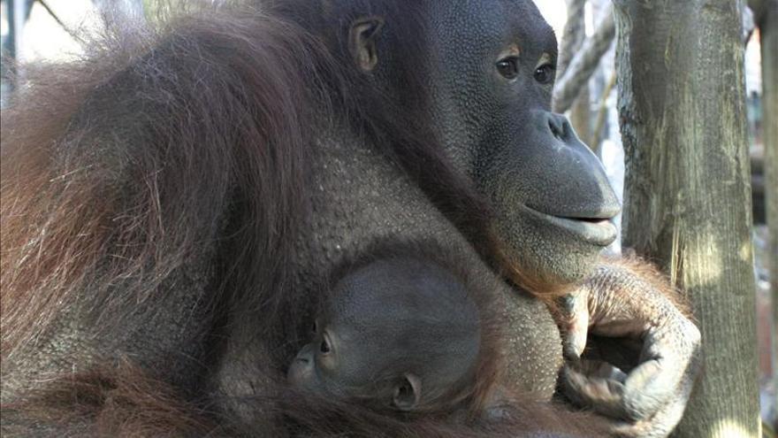 Nace la segunda cría de orangután en cuatro meses en el Zoo de Barcelona