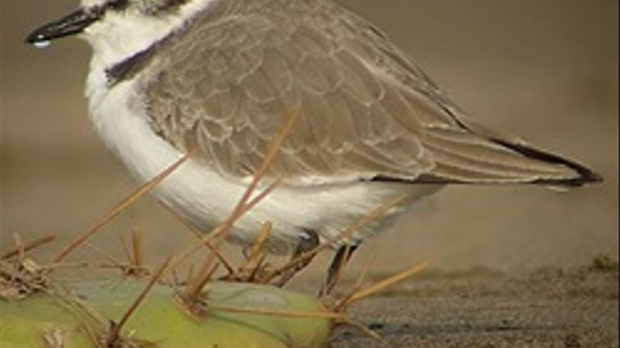 Un ejemplar de chorlitejo patinegro, especie protegida de la Charca de Maspalomas.
