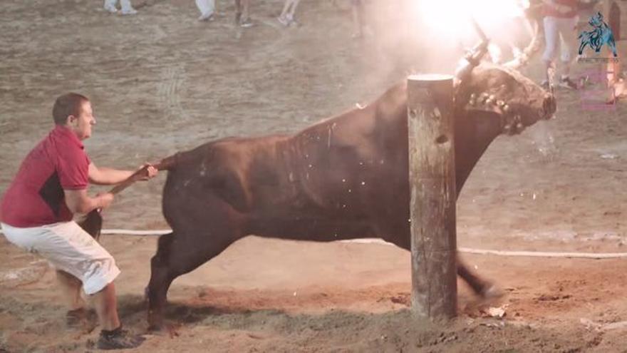 Un joven intenta arrastrar a un toro en La Vall d'Uixó
