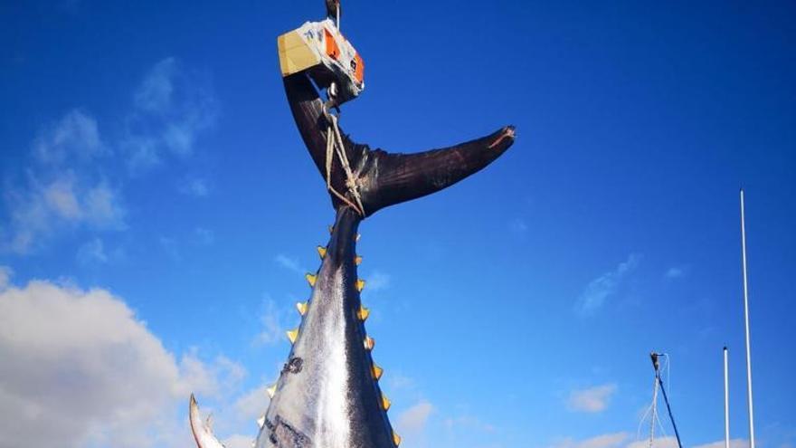Pieza de atún rojo o patudo descargada en la zafra de este año en un puerto canario