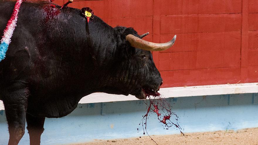 El toro vomita sangre después de recibir una estocada que le ha perforado un pulmón. Foto: colectivobritches.com