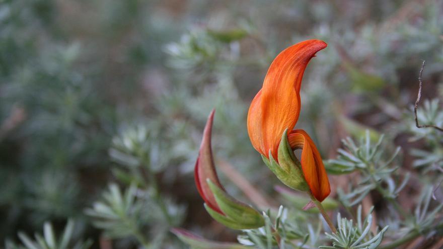 Un ejemplar de Pico de fuego (Lotus pyranthus).