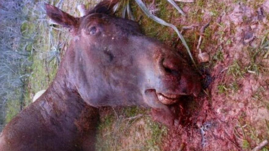 Tras perder una carrera en Mallorca, el caballo Sorky murió apaleado por su jinete, primer condenado por maltrato animal que entró en prisión en España. Foto: Abada