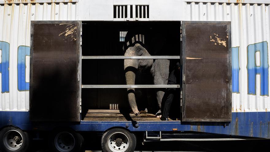 Elefante en un camión del Circo Mundial, en 2016. Foto: Tras los Muros