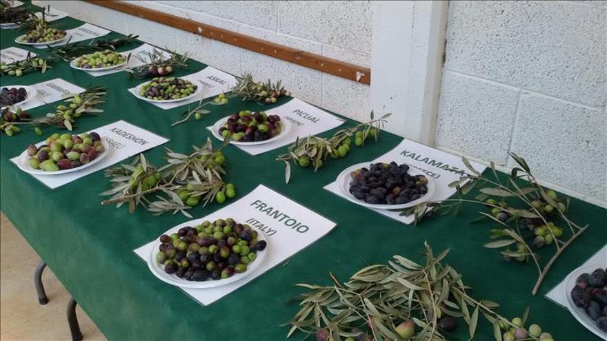 Dos aceitunas españolas compiten por el corazón del desierto del Néguev