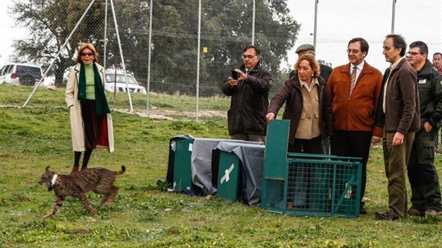 Suelta de linces ibéricos en Mazarambroz, Toledo, 26/11/14 / Foto: Europa Press
