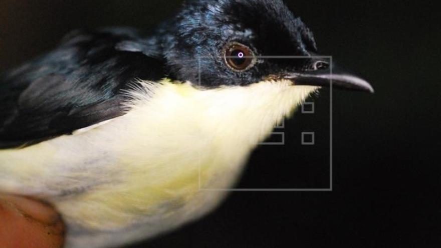 Descubren una nueva especie de ave en los bosques de Papúa