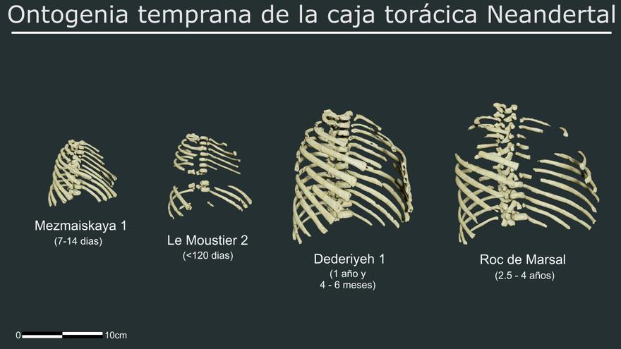 El 3D escudriña el tórax de los neandertales: la forma robusta es heredada