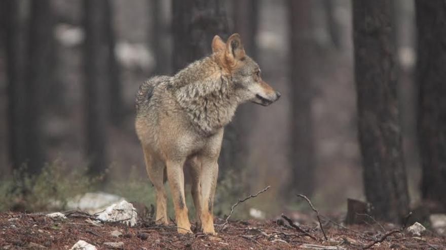 El lobo convive mal con la ganadería.