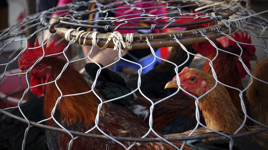 Seúl veta exportaciones de aves de Holanda y Reino Unido por gripe aviar