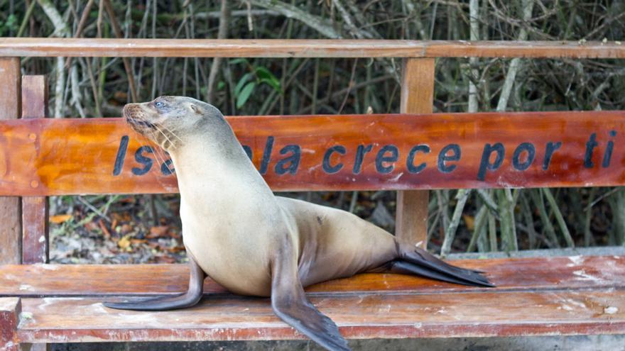 Lobo marino en Isabela, una de las islas del Archipiélago de Galápagos.