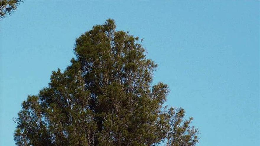 La sabina mora, una reliquia que sólo crece en África... y en Murcia