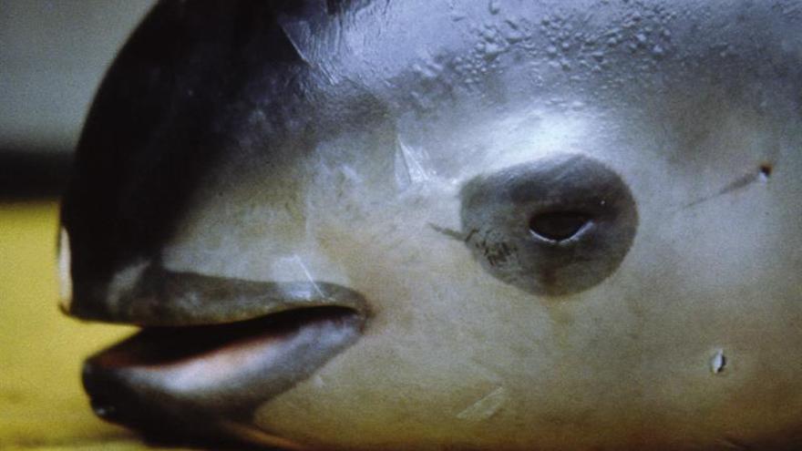 La vaquita marina, en peligro de extinción