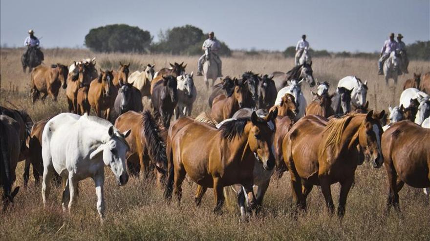 Hinojos saca casi 300 equinos de la marisma Doñana en la 'Recogida de las Yeguas'