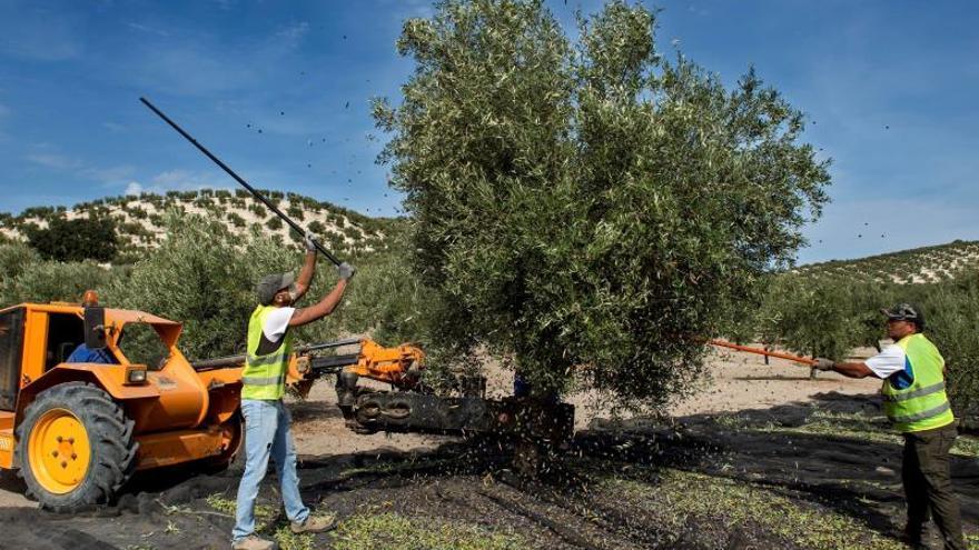 Dos trabajadores varean un olivo para la recolección de la aceituna.