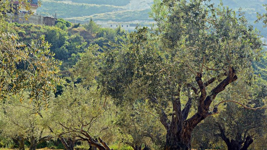 La región suspende la recolección mecanizada nocturna en olivares superintensivos por la alta mortalidad de aves