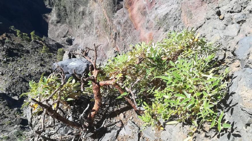 Una planta de Bencomia exstipulata.