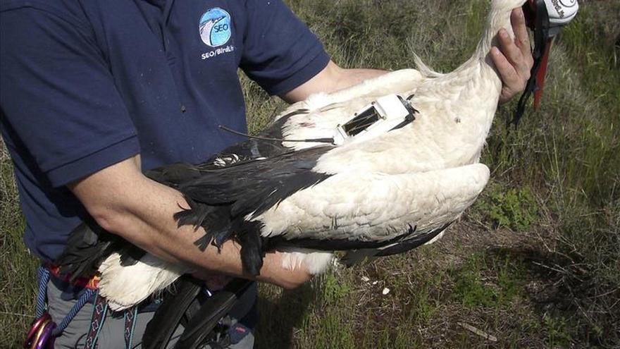 Muere la cigüeña con la que se analizaban las migraciones de esta especie