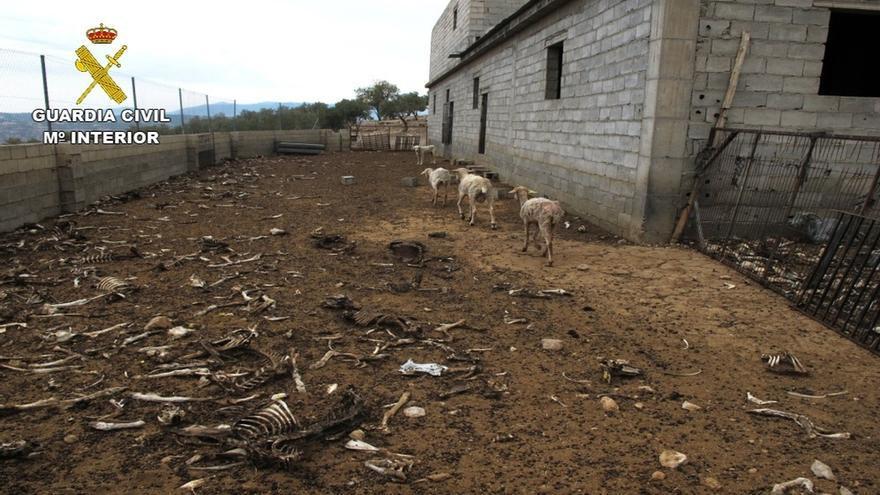 Investigan a un ganadero de Zújar por dejar morir de hambre a 200 ovejas y dos perros