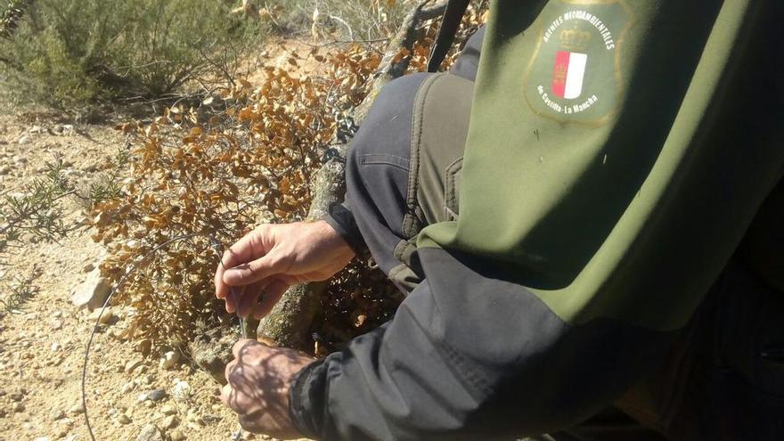 Uso ilegal de lazos en Castilla-La Mancha