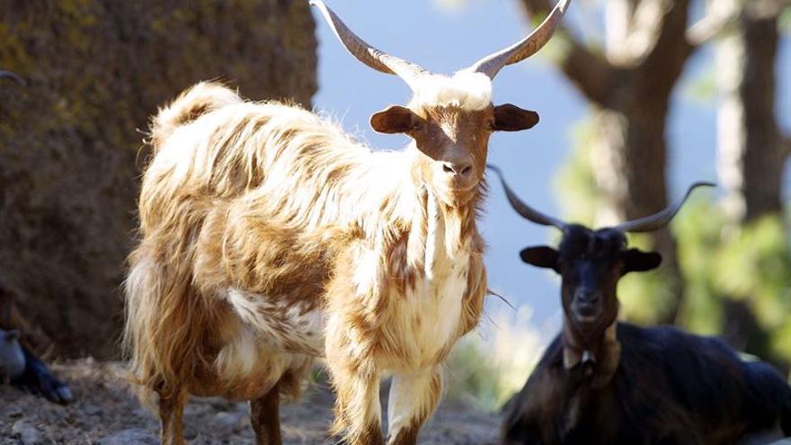 En la imagen, dos ejemplares de cabra de raza palmera. Foto: Europa Press/Gobierno de Canarias..