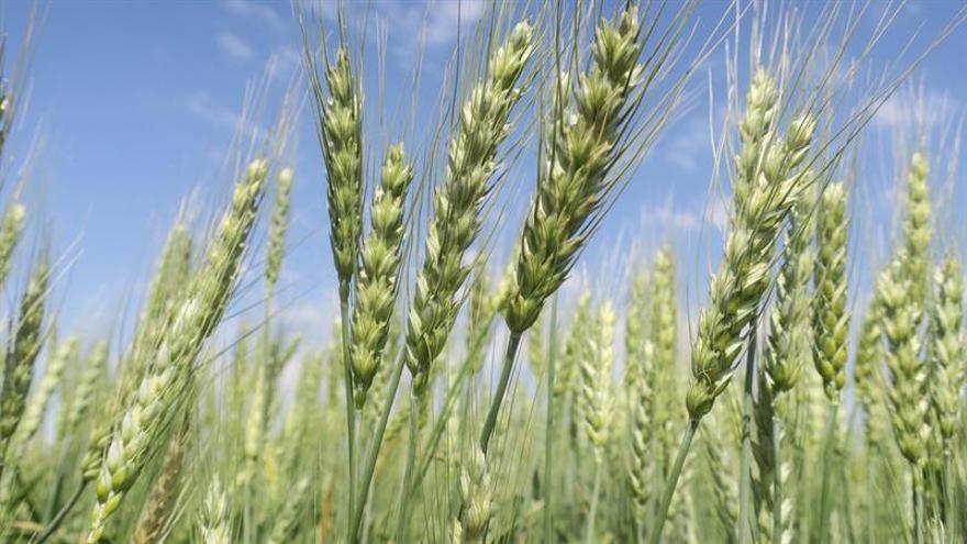 descifrado el genoma del trigo el alimento básico de más de un