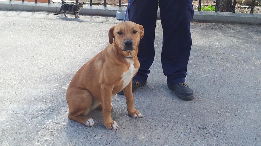 Senda, hembra mestiza de siete meses, espera una nueva oportunidad en la perrera de la Mancomunidad de la Vega de Henares. Foto: APAMAG