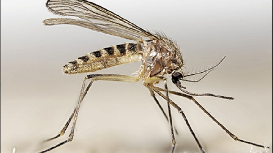 Cuatro motivos por los que los mosquitos no pueden transmitir el coronavirus