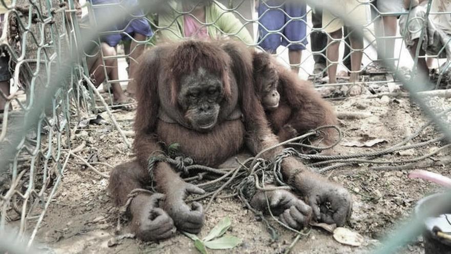 Orangutanes víctimas de la deforestación