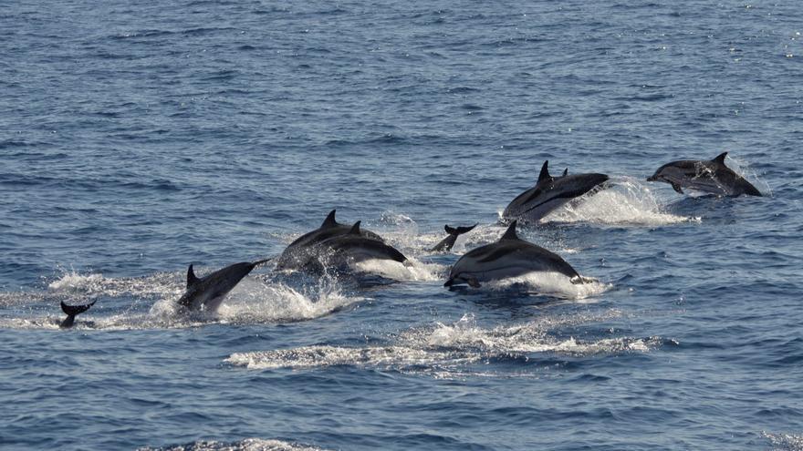 Ejemplares de delfín listado en la zona de los sondeos. (CEAMAR Y SECAC)