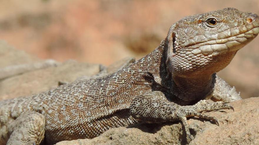 Ejemplar de lagarto gigante de Tenerife