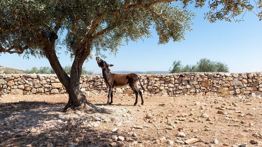 Burro comiendo ramas de un olivo